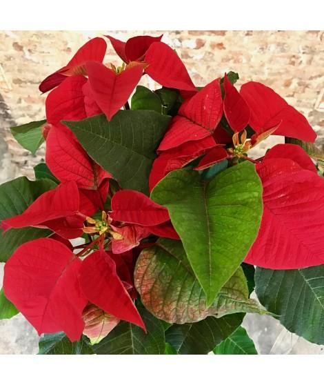 Flor de pascua - Euphorbia - Poinsettia