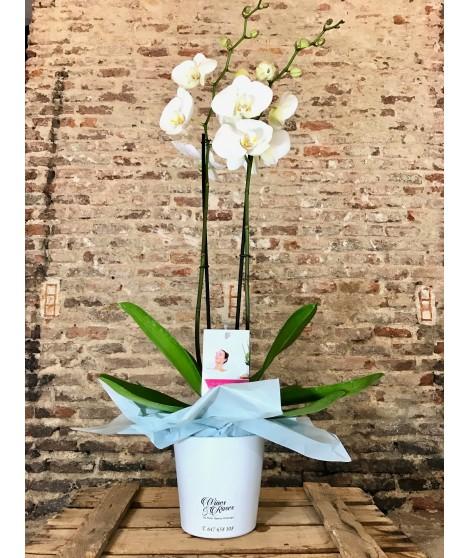 Orquídea Phalaenopsis Blanca con maceta incluida