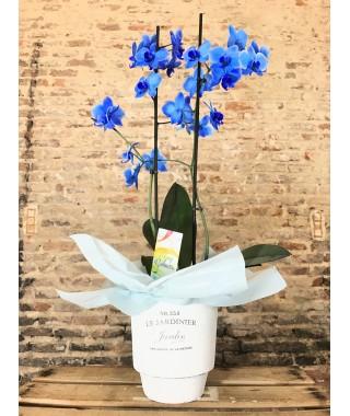 Orquídea Azul con maceta Jardinier